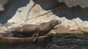 Vancouver Aquarium preparing to reopen (04:37)