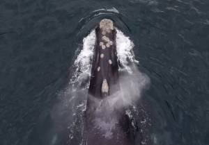 Ocean sighting of North Pacific Right Whale off Haida Gwaii generates major excitement (01:59)