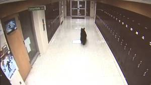 Security video captures black bear roaming hallways of Pennsylvania middle school
