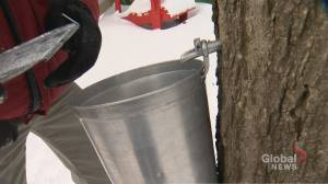 Toronto neighbourhood residents coming together to gather sap for maple syrup