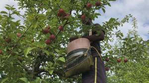 Apple season is underway at Moore Orchards in Cobourg (02:30)
