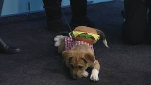 Adoptable dogs don costumes for a Halloween fashion show