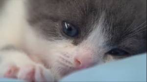 Chinese biotech firm releases video of cloned kitten