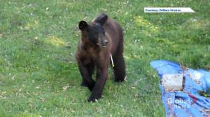 Black bear found roaming Montreal's West Island euthanized (02:06)