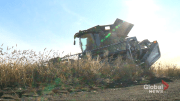 Play video: Prairie farmers not in favour of proposed royalty systems: survey