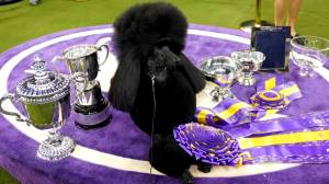 Westminster Dog Show: Siba the poodle crowned 'best in show'