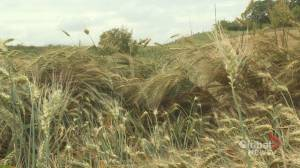 Wet, immature crops delaying harvest for some Alberta farmers (01:12)