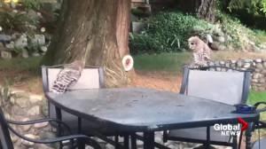 Curious baby barred owls visit Delta backyard (01:05)