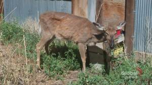 Deadly wildlife disease could be transmitted to humans: U of C study (01:45)