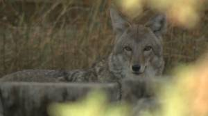 2 coyotes euthanized after Stanley Park attacks (01:43)