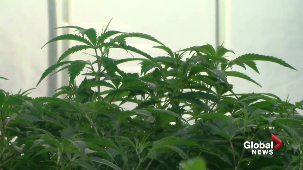 Click to play video 'Cannabis cutbacks in Alberta: Where the industry stands after two years of legalization'