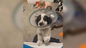 BC SPCA seeks donations for puppy injured in dog attack (00:39)