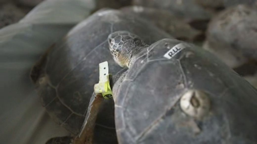 Click to play video 'Freezing sea turtles saved from frigid waters off Texas'