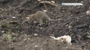 Rodents on the Rise in HRM (06:09)