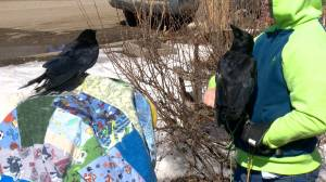 Crows living happy life in Rosthern, Sask. home (01:49)