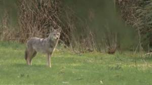 Woman bit by aggressive coyote in Vancouver's Stanley Park (01:38)