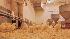 Dal researchers help in the fight against COVID-19 by developing antibodies in chickens (05:33)