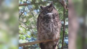 Death of neighbourhood owl in Saanich sparks calls for rodenticide ban (02:04)
