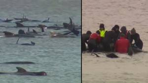 Rescuers attempting to free hundreds of whales stranded on Australian sandbar (02:34)