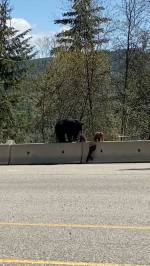 Mother bear safely guides three cubs across busy B.C. highway