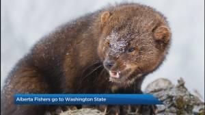 Calgary Zoo working to return weasel-like critter to the wild
