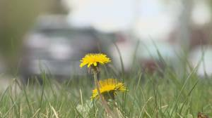 Southern Albertans encouraged to keep dandelions, increase biodiversity on lawns (01:52)