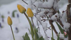 Millions impacted by spring snow storm across Canada, U.S. (01:12)