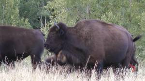 Sturgeon River bison herd almost double from record low: ecologist (01:45)