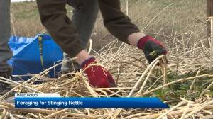 Foraging for Stinging Nettle in the Okanagan (02:04)