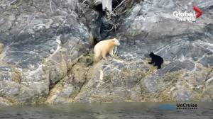 Rare white 'spirit' bear spotted with cub in B.C.
