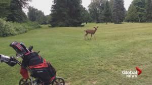 Curious deer walks through Chilliwack golf game (00:37)