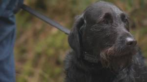 Shack the dog safe after close call on Seymour River (01:21)