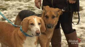 Shelter Pet Project Nov. 22 – Chevy, Wanda and Troy (02:47)