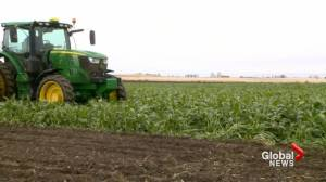 Lethbridge College awarded funding for sugar beet research (01:49)