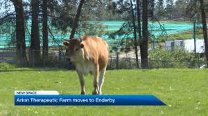 Arion Therapeutic Farm leaves Kelowna for Enderby (01:32)