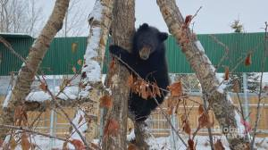 Alberta bear cub too skinny to hibernate