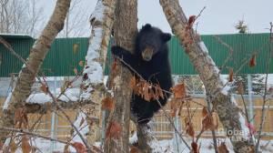 Alberta bear cub too skinny to hibernate