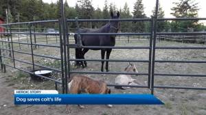 Colt saved by dog in Tappen, B.C. (02:27)