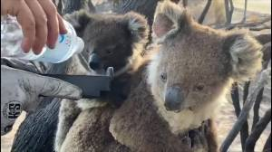 Firefighters provide water to baby and mother Koala on Kangaroo Island