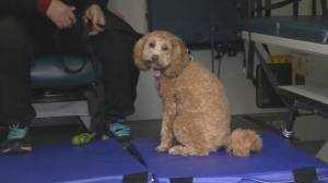 Veterinary-trained transport service in Toronto helps pet owners during COVID-19 (02:29)