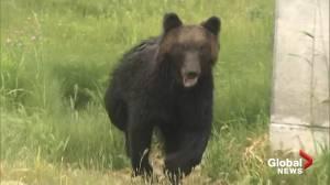 4 injured in wild bear attack in Sapporo, Japan (01:39)