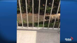 Okanagan bear walks through yard, nimbly hops fence