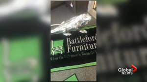 Battleford, Sask., business offers reward for stolen iguana decoration (01:42)