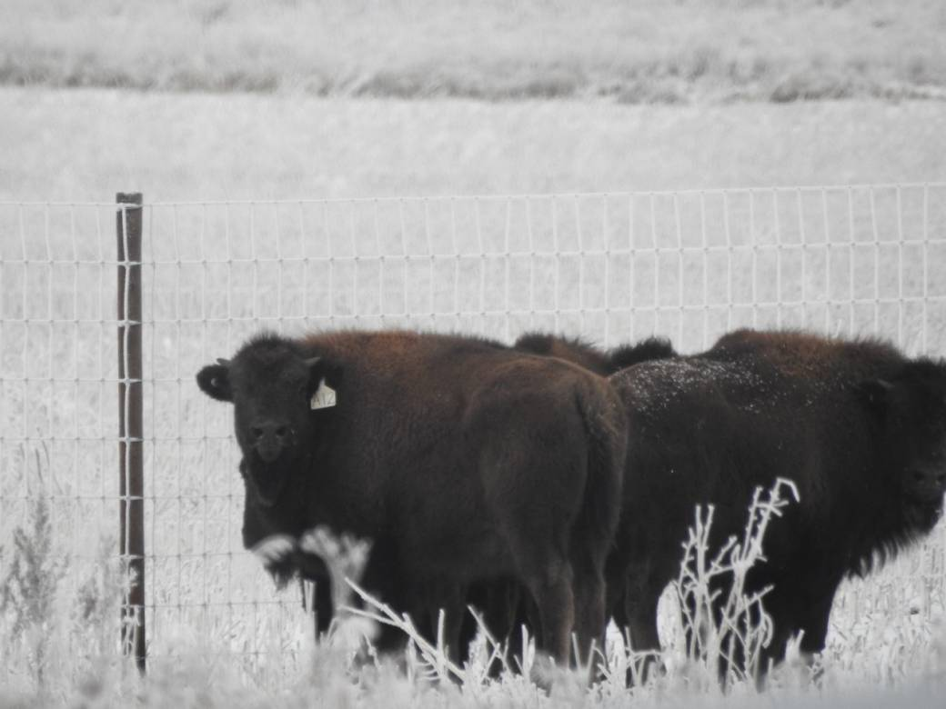 Plains bison back in Saskatoon after more than 100 years