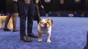 Thor the Bulldog makes history by winning the National Dog Show's 'Best in Show'