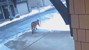 Frightening encounters lead to cougar warnings in Tri-Cities (02:04)