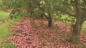 Millions of apples spoiling in Okanagan orchards (02:12)
