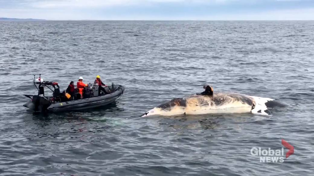 Click to play video 'North Atlantic right whale classified one class away from extinction'