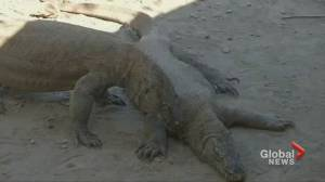 Indonesia closing Komodo Island to protect lizards