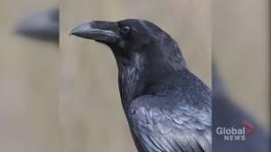 Ecomuseum calling on thief to return beloved, injured bird (02:07)